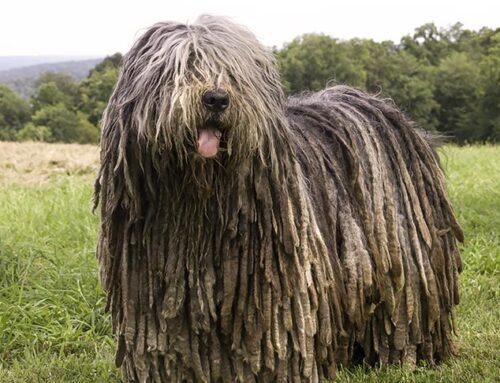 CaniItaliani: Italian dog breeds